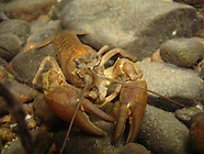 Signal Crayfish, Underwater