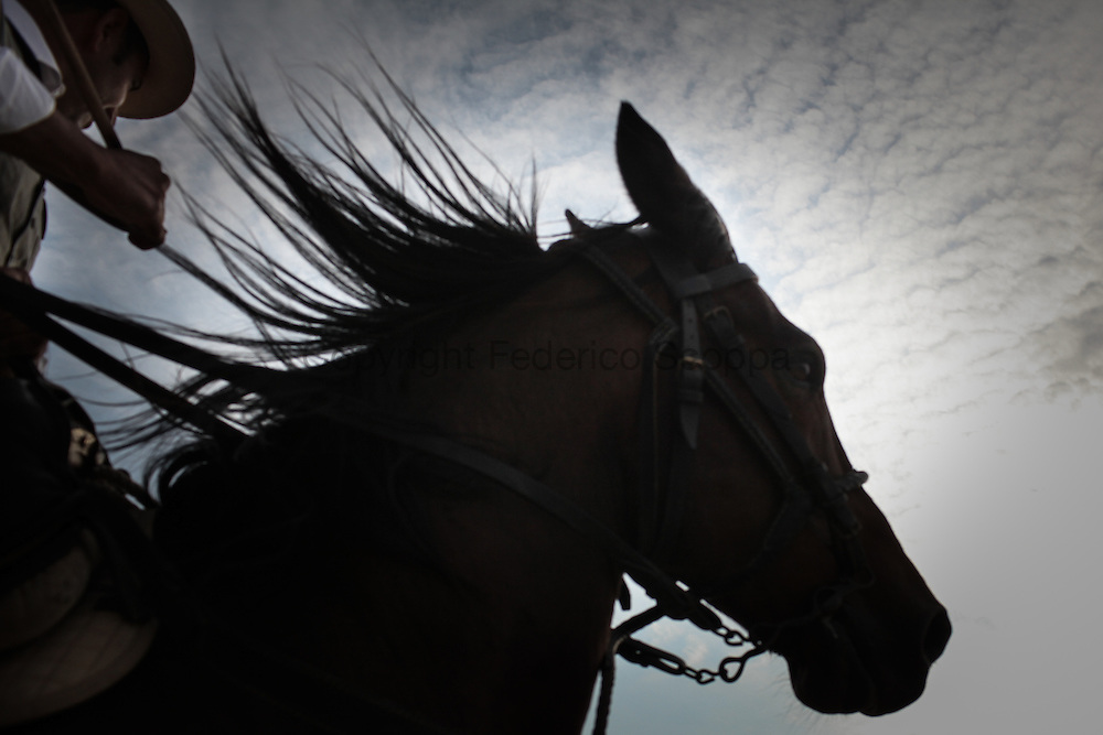 The 'maremmano' is the typical horse used by the butteri, very strong and powerful