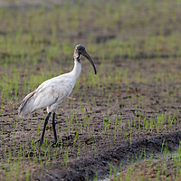 The black-headed ibis (Threskiornis melanocephalus), also known as the Oriental white ibis, Indian white ibis, and black-necked ibis, is a species of wading bird of the ibis family Threskiornithidae which breeds in the South- and Southeast Asia from India to the west and as far east as Japan.