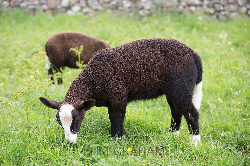 Sheep, Ovis aries, likely Balwen or Zwartbles breed, grazing in meadow on Isle of Iona in the Inner Hebrides and Western Isles, Scotland