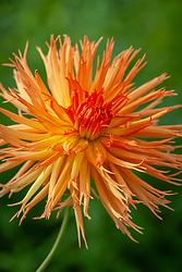 Dahlia 'Mel's Orange Marmalade'