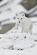 Young Arctic fox in white winter fur, Vulpes/Alopex lagopus, Dovrefjell National Park, Norway