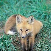 Red Fox, (Vulpus fulva) young kit sits near den entrance. Summer.