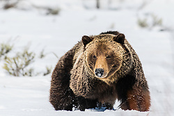 Big Grizzly Bear fighting the soft snowpack of April in Jackson Hole Wyoming