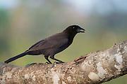 Purplish Jay (Cyanocorax cyanomelas)<br /> Northern Pantanal<br /> Mato Grosso<br /> Brazil