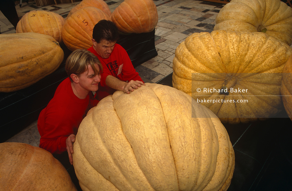Two officials manhandle a gient pumpkin specimen into position onto its plinth before judges arrive to choose winners. Wearing the same red sweatshirts, the two men heave, push and manoeuvre the massive pumpkin into line while the strain shows on their faces at the Bay Tree Nurseries, Spalding, Lincolnshire, England. Sponsored by Garden News Magazine and hosted by the nursery owner, these vegetables can weigh up to 300kg, their growth accelerated by special fertilizers and genetic hormones.