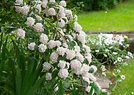 Viburnum opulus roseum (Snowball Tree) flowering at Stockton Bury Gardens, Kimbolton, Leominster, Herefordshire, UK