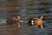 Blue-winged teal duck (Spatula discors), mael to the right and female swimming behind in man-made pond.<br />Winnipeg<br />Manitoba<br />Canada