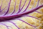 Close-up abstract image of the upperside of the leaf of a colourful Ornimental kale or Flowering cabbage (Brassica oleracea) growing in a garden in Norfolk
