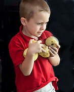 Polish boy wearing red shirt age 6 holding armful of ripe yellow apples. Zawady Central Poland