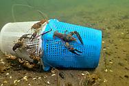 Rusty Crayfish on Crayfish Trap<br /> <br /> Engbretson Underwater Photography