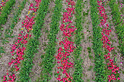 Some of 250,000 deadheaded tulips in a Lincolnshire flower field farmed by Multiflora Flowers on 27th April 2020 in Holbeach, Lincolnshire, United Kingdom. It is said that 'If you see a colourful field of flowers, the crop has failed.' Because of the UK lockdown due to the Covid-19 pandemic wholesalers have closed their doors and supermarkets who are their main customer cancelled their orders leaving the growers with nowhere to sell their flowers. The grower removed the waste tulip heads in order for the bulbs to retain energy to grow for next year.