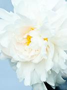 Paeonia lactiflora 'James Kelways' - double peony