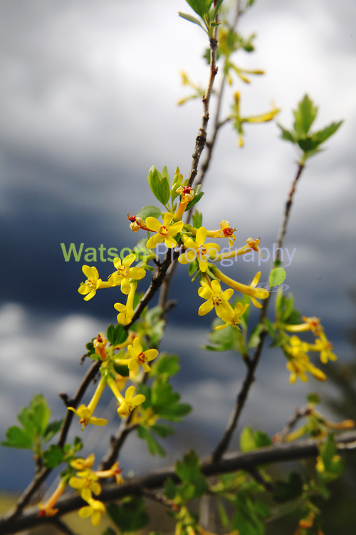 Yellow Blossoms in the Storm Light