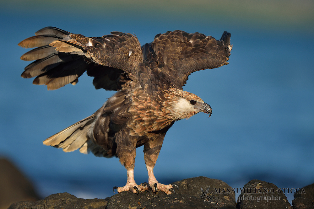 The Madagascan fish eagle (Haliaeetus vociferoides) or Madagascar sea-eagle (to distinguish it from the Ichthyophaga fishing-eagles) is a large bird of prey in the family Accipitridae which also includes many other diurnal raptors such as kites, buzzards and harriers. The range of this eagle is within the Madagascar dry deciduous forests. It is a medium-sized sea eagle, 60–66 cm (24–26 in) long and with a wingspan of 165–180 cm (65–71 in).<br /> Its closest relative is the African fish eagle, Haliaeetus vocifer. Together, they form a distinct species pair lineage of sea-eagles, which separated soon after the divergence of the genus; they retain the ancestral dark beak, talon, and eye, but unlike other Haliaeetus species, they always have at least partially white tails, even while juvenile. As in other sea-eagle species pairs, one species (the Madagascan fish eagle in this case) has a tan head, while the other has a white one.
