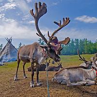 Reindeer relax outside a Tsaatan family's teepee by Lake Hovsgol , in Lake Hovsgol National Park, Mongolia.