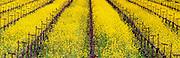 Mustard in Vineyard