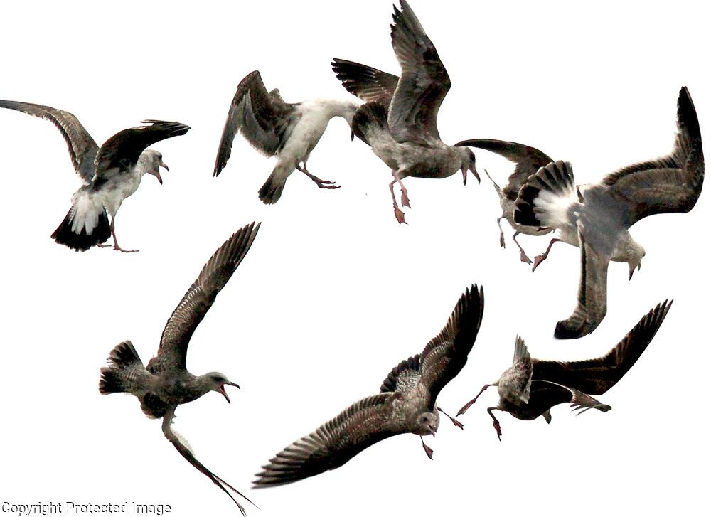 A flock of seagulls fly into a random circular pattern as they lift off from Main Beach in Santa Cruz, California.<br /> Photo by Shmuel Thaler <br /> shmuel_thaler@yahoo.com www.shmuelthaler.com