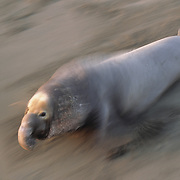 A large male Northern Elephant Seal known as the Beach Master charges towards a competing male in California.