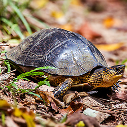 """""""Tartaruga-de-patas-malhadas (Rhinoclemmys punctularia) fotografado em Linhares, Espírito Santo -  Sudeste do Brasil. Bioma Mata Atlântica. Registro feito em 2014.<br /> <br /> <br /> <br /> ENGLISH: painted wood turtle photographed in Linhares, Espírito Santo - Southeast of Brazil. Atlantic Forest Biome. Picture made in 2014."""""""