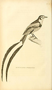 Muscicapa psalura actually Alectrurus risora (Strange-tailed Tyrant) female from volume XIII (Aves) Part 2, of 'General Zoology or Systematic Natural History' by British naturalist George Shaw (1751-1813). Griffith, Mrs., engraver. Heath, Charles, 1785-1848, engraver. Stephens, James Francis, 1792-1853 Published in London in 1825 by G. Kearsley