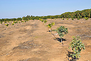 Israel, Sharon district, Citrus Grove. Young orange trees planted in a plot replacing older varieties