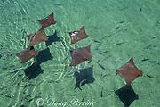 Atlantic cownose rays, Rhinoptera bonasus, Florida