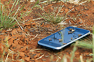 A band of early instar Australian Plague Locust basks happily in the sun alongside an iphone next to the practice fairway of the Red Creek Golf Club in Mildura, Victoria, Australia.   The Victorian government has pledged $43.5million in support to help combat what could be the worst locust plague in over 75 years in South Eastern Australia with potential imapcts on agriculture of over $2 billion.