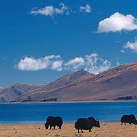 CHINA, TIBET. Yaks (Bos grunniens) graze by Yamdruk Lake.