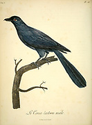 Male Coua tait-sou. Couas are large, mostly terrestrial birds of the cuckoo family, endemic to the island of Madagascar from the Book Histoire naturelle des oiseaux d'Afrique [Natural History of birds of Africa] Volume 5, by Le Vaillant, Francois, 1753-1824; Publish in Paris by Chez J.J. Fuchs, libraire 1799