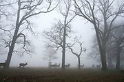 © Licensed to London News Pictures. 13/03/2014. Richmond, UK. Deer move across woodland. Deer graze and feed in the heavy fog at Richmond Park, Surrey, today 13th March 2014. Photo credit : Stephen Simpson/LNP
