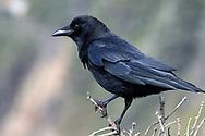 An American Crow seen along the Oregon Coast