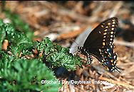 03009-007.01  Black Swallowtail (Papilio polyxenes) female laying eggs on Parsley (Petroselinum crispum)  Marion Co. IL