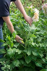 Showing where to cut dahlias when picking -  Dahlia 'Café au Lait'