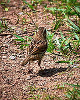 Song Sparrow. Sourland Mountain Preserve. Image taken with a Nikon D300 camera and 80-400 mm VR lens.