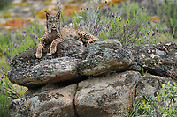 Iberian Lynx (Lynx pardinus) female<br /> Sierra de And˙jar Natural Park, Mediterranean woodland of Sierra Morena, north east JaÈn Province, Andalusia. SPAIN<br /> RANGE: Iberian Penninsula of Spain & Portugal.<br /> CITES 1, CRITICAL - DANGER OF EXTINCTION<br /> Fewer than 200 animals in the wild. There is a reduced genetic variability due to their small population. They have suffered due to hunting, habitat loss and road accidents, but the most critical threat today is the reduced numbers of wild Rabbits (Oryctolagus cuniculus) within the lynx's range. The rabbits are the principal food source of the lynx and they are suffering from deseases such as Myxomatosis & Rabbit haemoragic virus. The lynx is also suffering from deseases such as feline leukaemia<br /> A medium sized cat weighing 12-15kgs, Body length 90cm, Shoulder height 45-50cm. They have a mottled fur pattern, (3 varieties of fur pattern found between the different populations and distinguishing them geographically)  short tail, ear tufts and are bearded. They are territorial cats although female cubs have been found to share their mother's territory. Mating occurs in Dec/Jan and cubs born around April. They live up to 13 years.