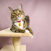 Cute brown tabby cat Lennox of cat instagram Lennox and Sloan, Two Lucky Rescue Cats. Pet portrait photo by portrait and pet photographer Mara Robinson Photography in Tallmadge, Ohio