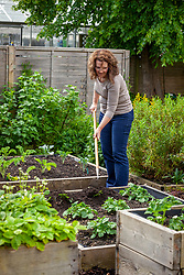 Earthing up potatoes by mounding up the soil around the base of the plants with a hoe. Solanum tuberosum