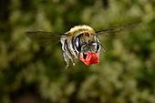 Poppy bee - Osmia papaveris
