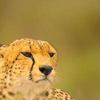 Cheetah posing in the Serengeti National Park in Tanzania.