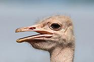 Common Ostrich, Struthio camelus