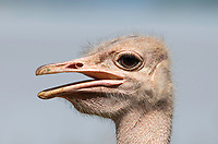 Close-up of a male Common Ostrich, Struthio camelus, on the shore of Lake Baringo, Kenya