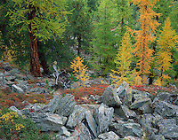 Mission Matterhorn, forest with European larch (larix decidua) and Cembra pine (Pinus cembra), Matterhorn, Switzerland