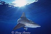 sandbar shark, Carcharhinus plumbeus, North Shore, Oahu, Hawaii, USA ( Central Pacific Ocean )