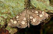 Close-up of a Elder Pearl moth (Anania coronata) resting with open wings on tree bark in a Norfolk garden in summer