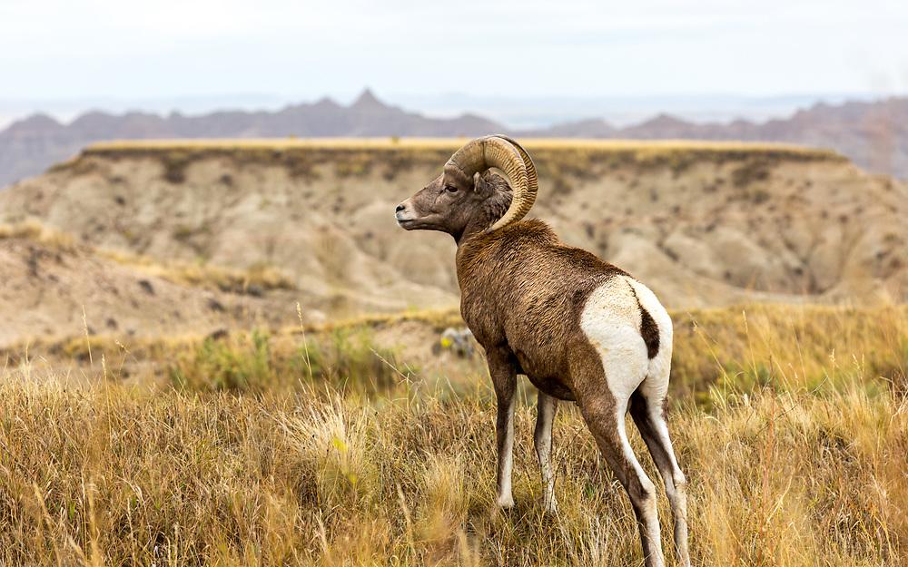 Bighorn Ram, Badlands, South Dakota. Photo taken October 2, 2017.