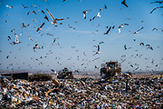 A colony of seagulls flies over a sea of trash at Kiefer Landfill in Sloughhouse on Thursday, Dec. 3, 2020.