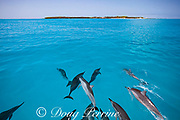 Hawaiian spinner dolphins, or nai'a, Stenella longirostris longirostris, aka Gray's or long-snouted spinner dolphin, bowriding on boat approaching Sand Island, Midway Lagoon, Midway Atoll National Wildlife Refuge, Papahanaumokuakea Marine National Monument, Northwest Hawaiian Islands, USA ( Central Pacific Ocean )