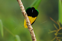 Twelve-wired Bird of Paradise (Seleucidis melanoleuca)