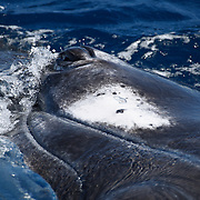 Humpback whale (Megaptera novaeangliae) swimming on its side, lifting its eye out of the water to take a look around. This was one of three whales socializing together.